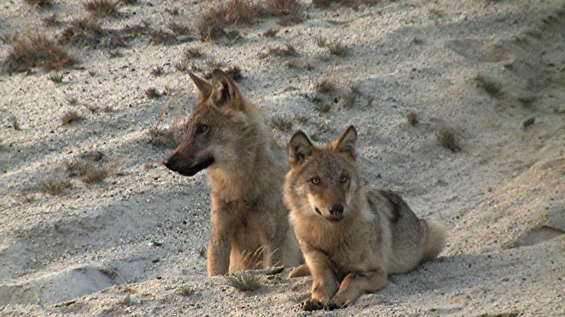 Im Alter von viereinhalb Monaten sehen die leicht schielende Wölfin Silberblick und ihre Wurfgeschwister schon fast aus wie richtige ausgewachsene Wölfe.
