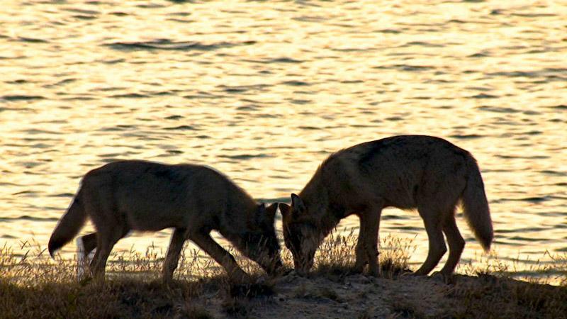 Zwei etwa viereinhalb Monate alte Welpen des im Jahr 2009 neugeründeten Seenland-Rudels